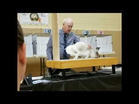 Larry Adkison All Breed CFA Hallmark Cat Club NY
