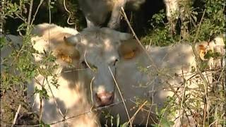 élevage,bovins,vaches