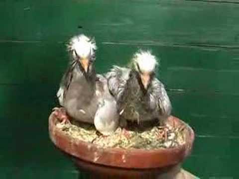 Jonge Oud Hollandse Kapucijnen