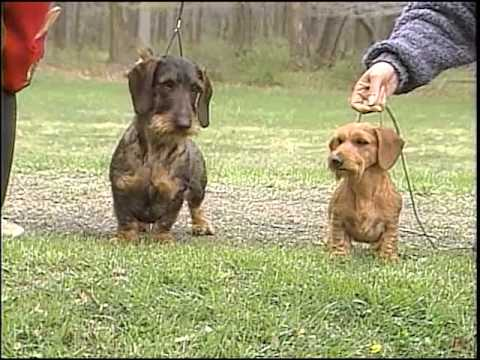 Dachshund - AKC Dog Breed Series