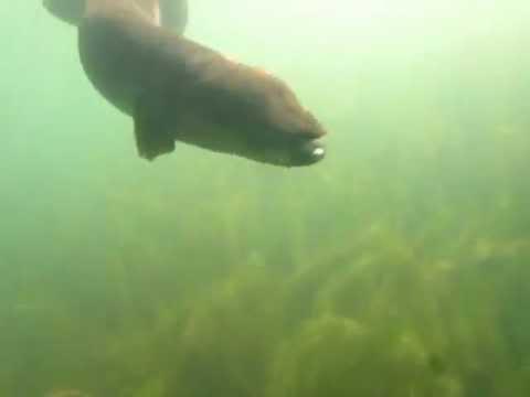 Fresh water Eels at Lake Rotoiti, New Zealand