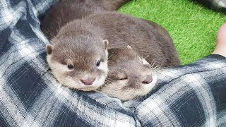 The otter family takes over on my lap.