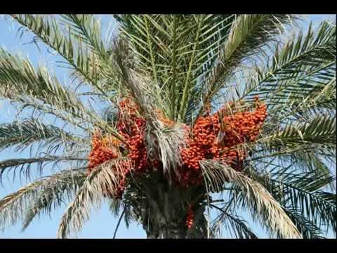 Пересадка пальмы -