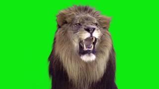 Lion roaring green screen