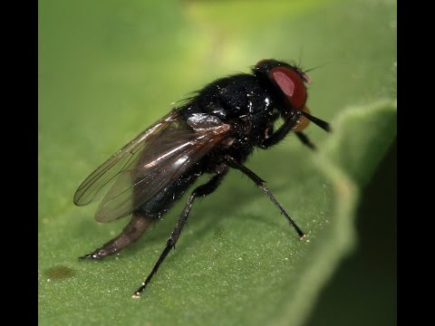 La mosca negra. Remedios y como evitar su picadura