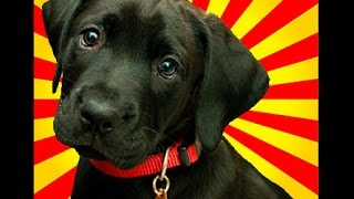 Labrador Puppy Training - Get Some Great Ideas On Labrador Puppy Training