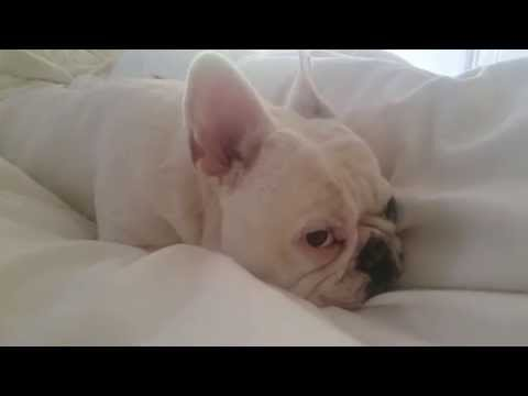 Lucy the French Bulldog - Sleepin' on Sunday