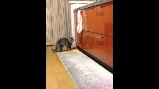 猫のケンカ cat fight キッチンに写った自分に飛びかかっています。 撮...