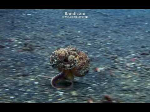 An octopus! Bipedalism! !  蛸が歩いたら・・・・3本足