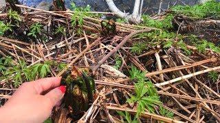 เก็บผักกูดOstrich fern(Fiddlehead)กับอมัณดุ๊ชหลังหิมะตกใส่#กำลังพอกรุบกริบ
