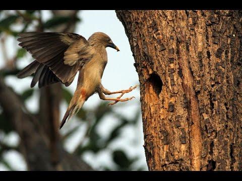 高雄市的灰頭椋鳥(2013-04-14) - YouTube
