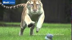 Breathtaking rare footage of tigers running at full speed