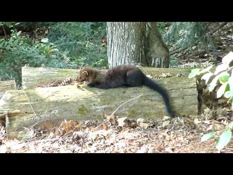 Fisher Cat Eats Dinner In NH Yard