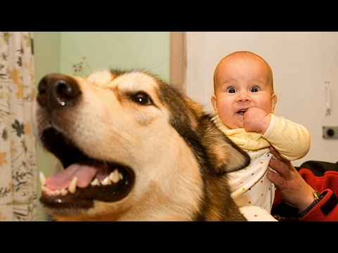 Alaskan Malamute Dog Love Baby Compilation NEW