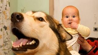 Alaskan Malamute Dog Love Baby Compilation NEW