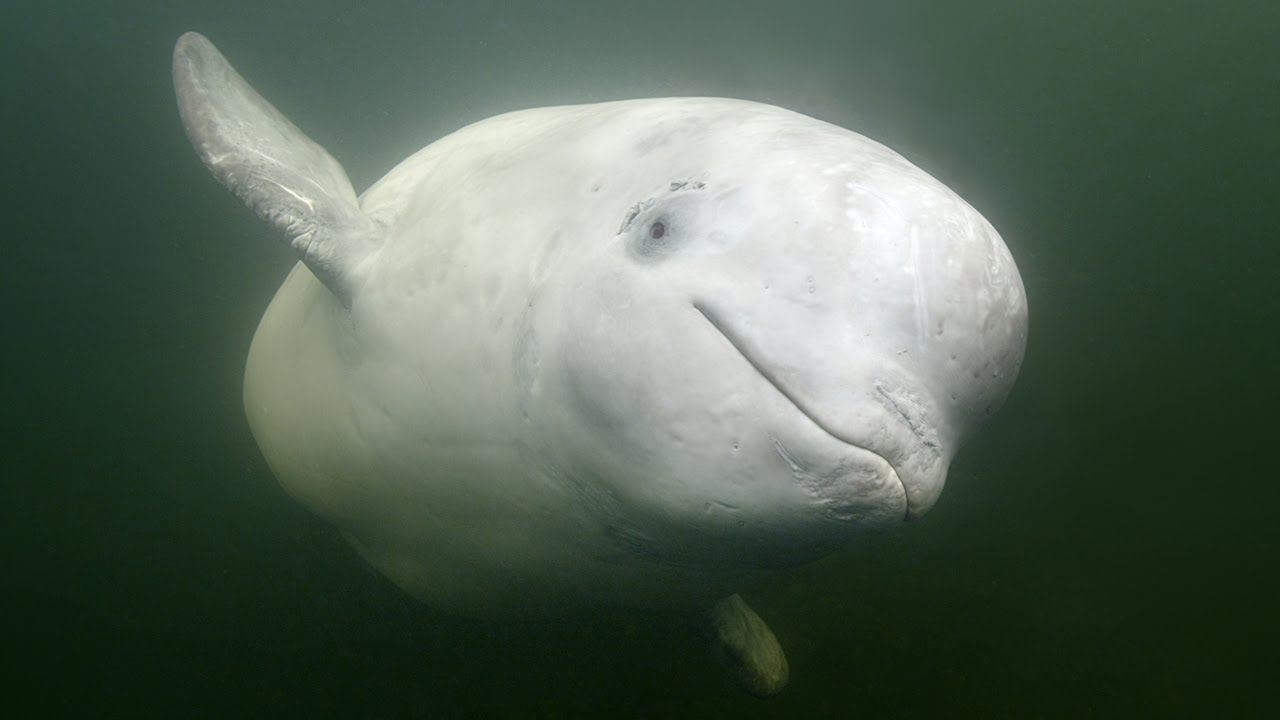 rare encounter with friendly beluga whale youtube