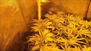 "Gorilla grow tent 4x4 se.2 ep.1 ""flower time"""
