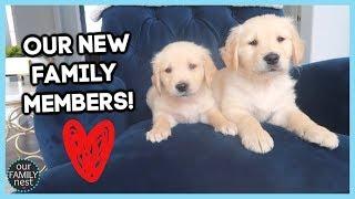 meet-our-new-8-week-old-golden-retriever-puppies