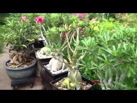 Vườn sứ nhà thanh ngọc đình ( suthaicaycanh.com)
