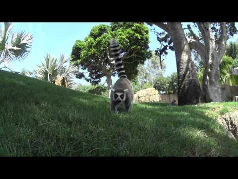 Lemur's King
