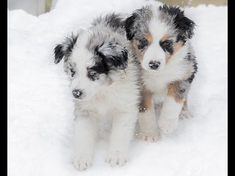 Slow Motion Aussie Shepherd Puppies Playing in the Snow