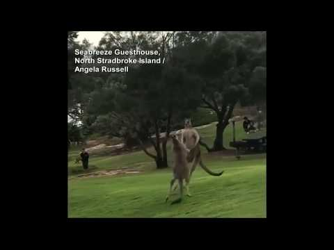 Video Extra: Kangaroo Fight