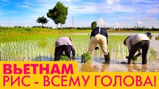 Рис. Рисовое поле во Вьетнаме