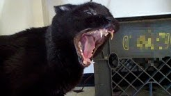 Talking Kitty Cat 30 - Demon Cat