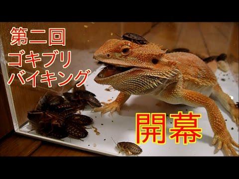 ゴキブリ50匹のケージに腹ペコのトカゲを投入