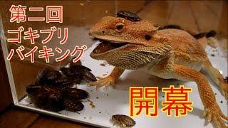 ゴキブリ50匹のケージに腹ペコのトカゲを投入 thumbnail