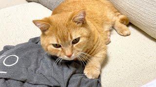 ママの服を枕にして離さない猫