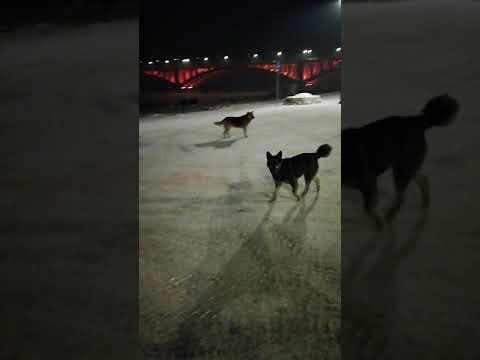 Krasnoyarsk is full of stray dogs shortly before the Universiade - Enysey-Bay - 2019-02-12
