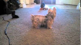 Silky Terrier Puppies Playing Sneezing