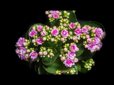 Pink kalanchoe flower Timelapse 21 days shooting in one minute