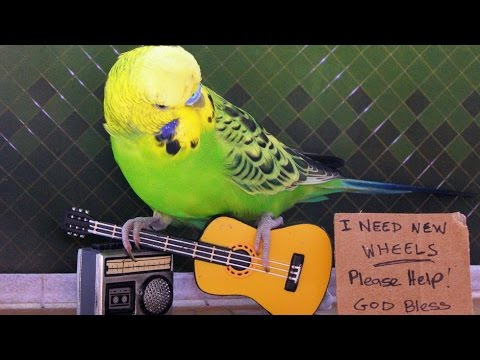 Веселые попугаи пристают к котам и собакам   забавное видео