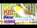 Pleci Gacor Isian Mewah Nembak Wit Wit Kenari Ampuh Buat Pancingan Toman Net  Mp3 - Mp4 Download
