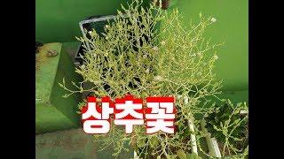 상추  꽃  수경재배