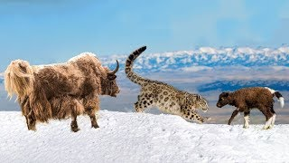 Mother Yak Save Her Baby From Snow Leopard Hunting See more : #WOAa...