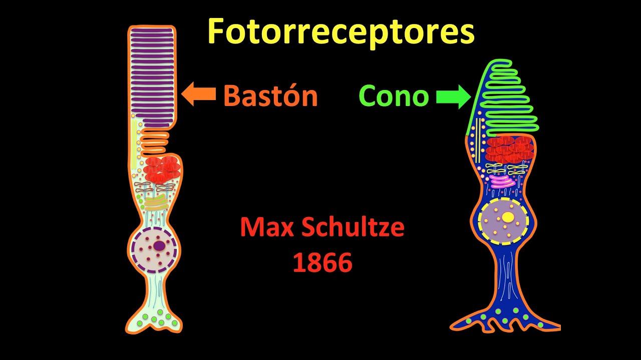 Fotorreceptores de la retina: Conos y Bastones -Centro de ...