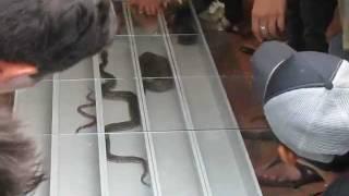 balapan ular
