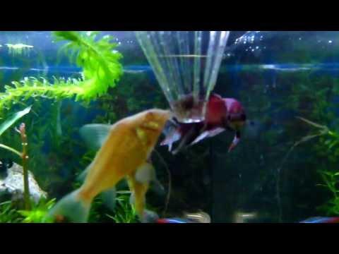 Lebendfutter tubifex aquarium kampffisch youtube for Kampffisch aquarium