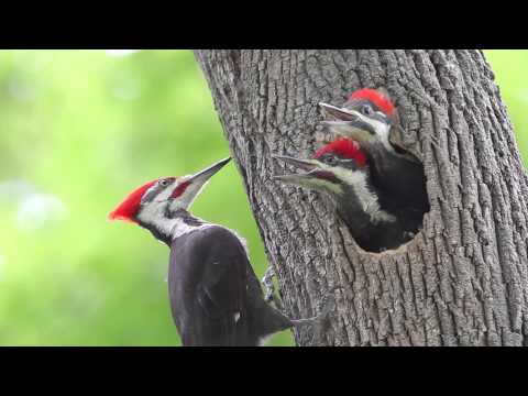 Pileated Woodpecker Chicks At The Nest