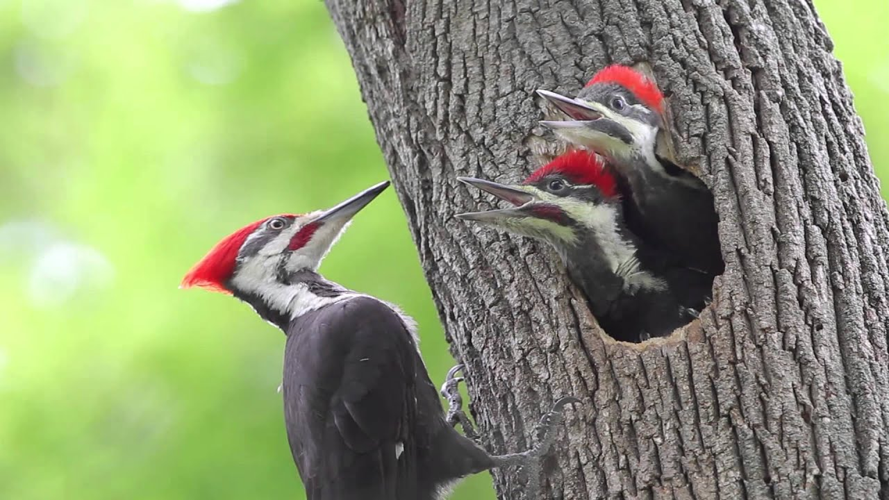 Pileated Woodpeckers Moving Deeper Into Nebraska