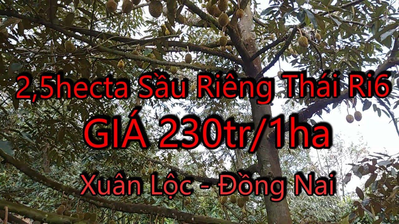 Bán vườn Sầu Riêng Thái và Ri6 tại Xuân Lộc Đồng Nai – sổ đỏ nông nghiệp cách QL1A 2km