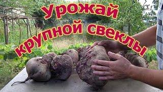 Урожай свеклы на узких грядках (укр.)