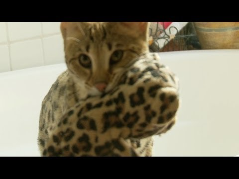 Awesome Savannah Cat Plays Fetch