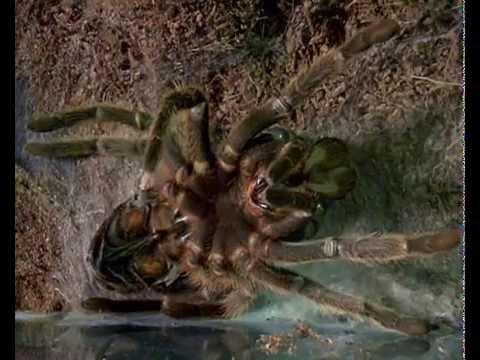 линька паука-птицееда Lasiodora parahybana (molting tarantula .