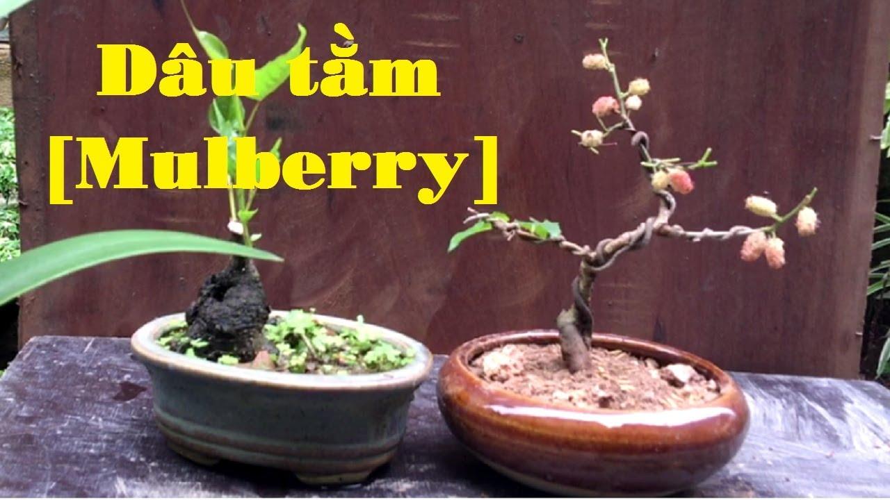 Tn0041 Thay Chậu Cho Cay Dau Tằm Bonsai Mini Bonsai Mulberry
