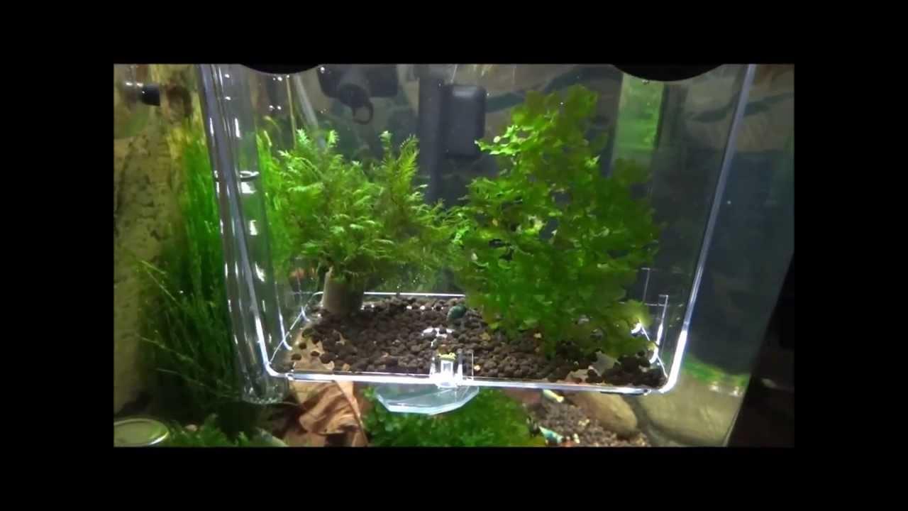 Internal breeding box youtube for Fish breeder box