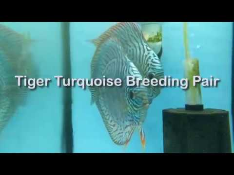 Tiger Turquoise Breeding Pair At Wattley Discus